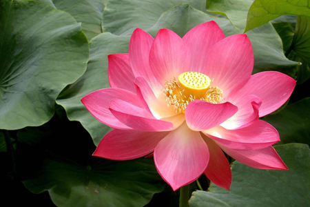 lily_pad_lotus_flower-inaytrust
